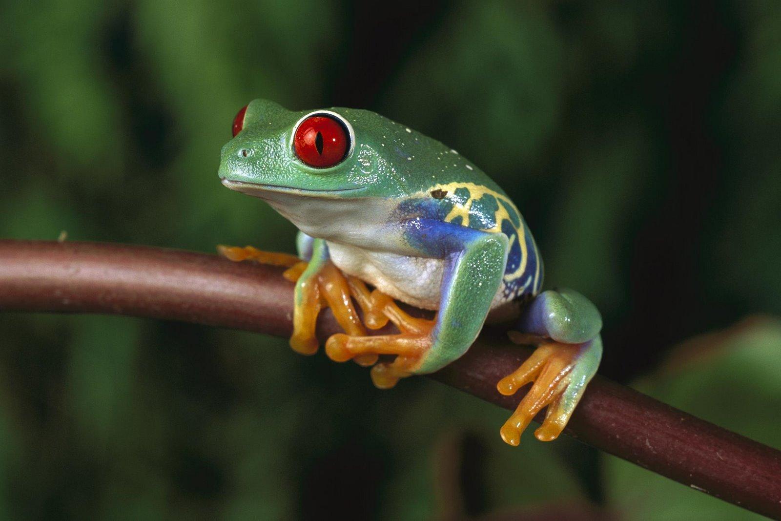 red-eyed-tree-frog— | Carolina Mylius